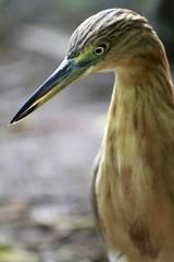 Yellow bittern bird