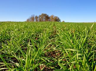Green wheat.