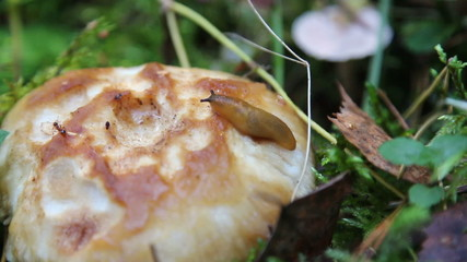 Slug creeps on old mushroom