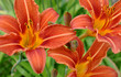 canvas print picture - Detailed view of a blooming lily