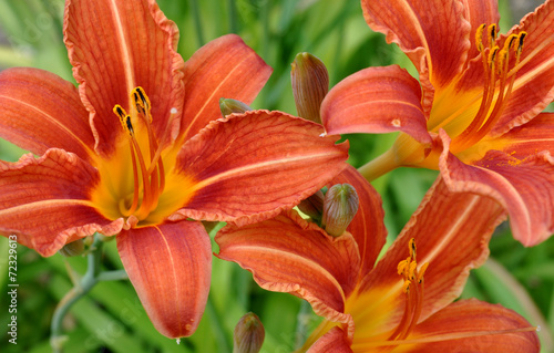 canvas print picture Detailed view of a blooming lily