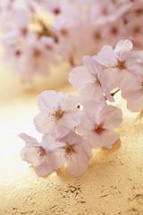 桜の和風イメージ