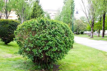 Taxus - coniferous plant