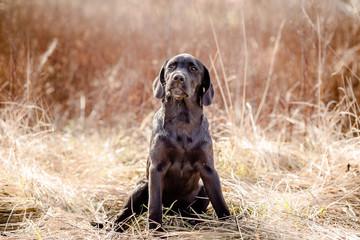 black labrador retriever puppy in yellow grass