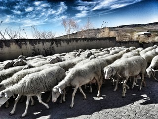 Transhumance of a flock