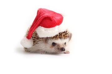 Hedgehog wearing red santa hat.