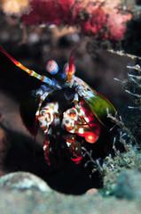 Mntis shrimp モンハナシャコ