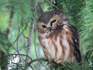 Squinting Northern Saw-whet Owl