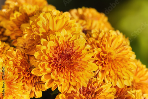 Fotobehang Bloemenwinkel Autumn Mums or Chrysanthemums in bloom
