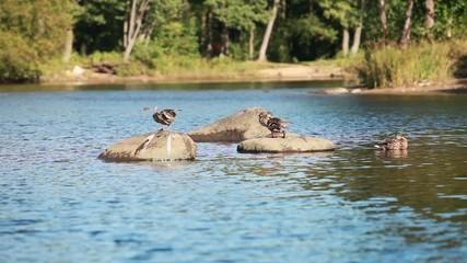 wild duck resting