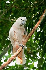 Cacatua appollaiato su un ramo