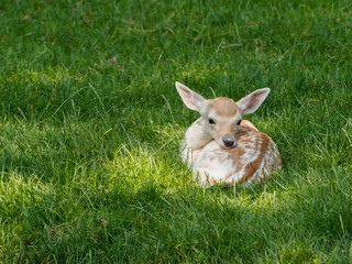 Young deer lying in field