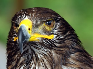 Great Eagle with hooked  beak