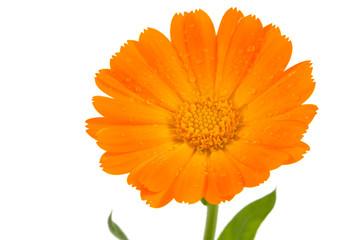 Flower of calendula isolated