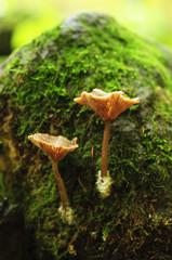 two mushrooms on tree log