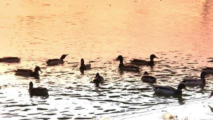 Ducks swim in the sunset