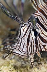 Lionfish ハナミノカサゴ