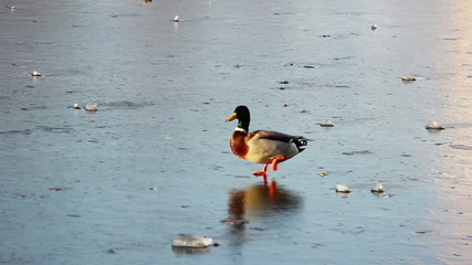 duck on the ice