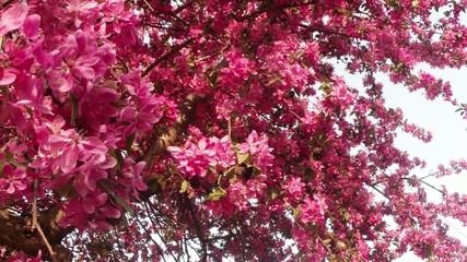 Sakura, lovely pink spring flowers
