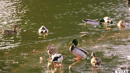 Ducks fight
