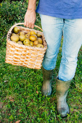 Legs of a man carrying a basket of pipping apples