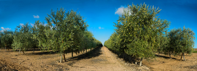 Panoramic views of olive tree lines