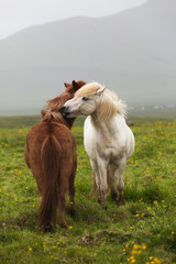 Icelandic white and  red horses