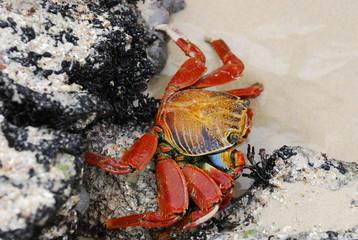 Sally Lightfoot Crab (3)