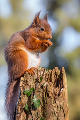 Red Squirrel in English countryside