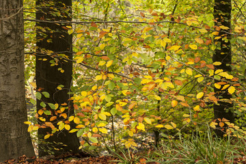 fading beech tree leaves in autumn, seasonal forest background
