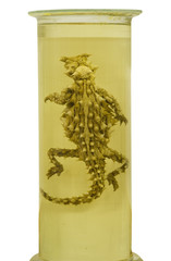 Pickled Thorny Devil lizard preserved in formaldehyde