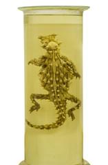 Pickled Thorny Devil lizard preserved in formaldehyde