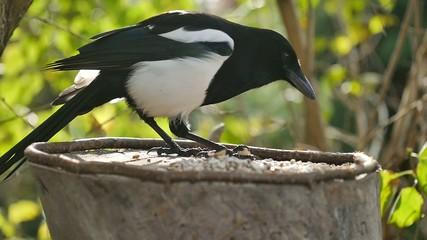 bird magpie