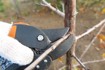 Pruning a fruit tree branch with a garden secateur in the garden