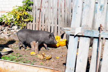 Vietnamese pig in the village yard