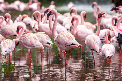 Foto op Canvas Flamingo A flock of pink flamingos and reflection in the water.