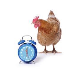 poule rousse fond blanc avec réveil