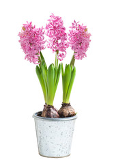 Blooming pink hyacinth in flowerpot on white.