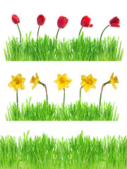 Green grass with daffodils and tulips isolated on white.