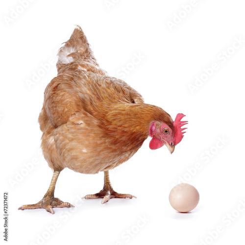 Poster Kip poule avec oeuf