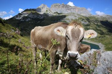 Kuh in Österreich