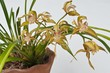 yollow orchid