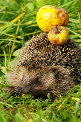 Hedgehog with apple 2