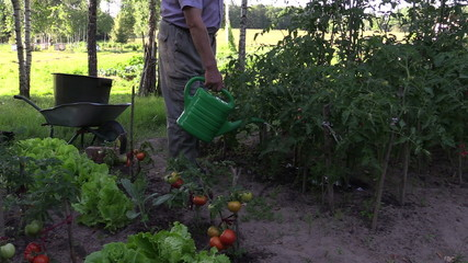 man watering tomatos with watering can outdoor. Rural harvest.