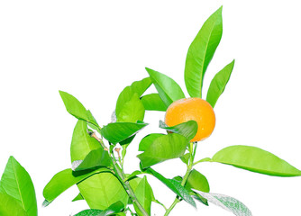 The fruits of an orange on a branch