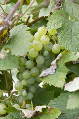 Bunches of white grapes growing in a vineyard