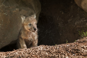 Grey Wolf (Canis lupus) Pup Pokes Head out of Den