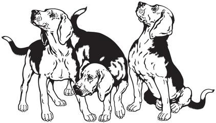three beagles black white