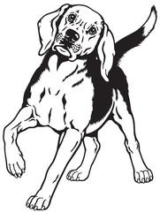 beagle black white