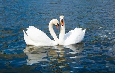 Swans in Hyde park lake